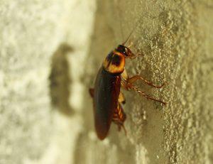 cafards, blattes : comment s'en débarrasser ?