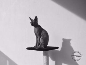 chats-sans-poils