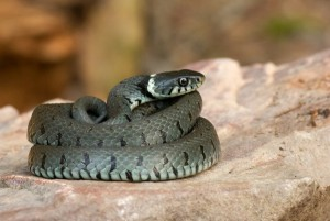 morsure de serpent chez le chien ou le chat que faire. Black Bedroom Furniture Sets. Home Design Ideas