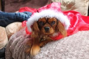 Izzy chien concours photo décembre 2015