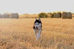 Gupsie chien concours photo juin 2016