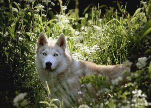 Ishka chien concours photo juin 2016
