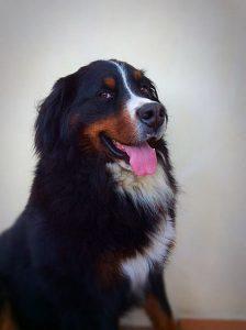 baloo chien concours photo animaux novembre 2016
