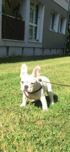 maya bouledogue chien concours photo animaux novembre 2016