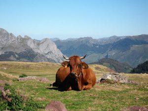 vache concours photo animaux novembre 2016