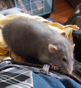 ratatouille rat concours photo mars 2017