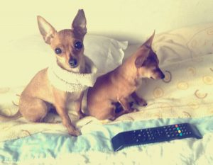 princesse chihuahua chien concours photo animaux avril 2017