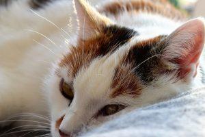 chat nettoyant oreilles