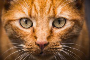Nettoyant yeux et oreilles chiens et chats - chat probleme oculaire auditif