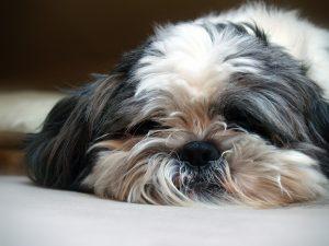 Nettoyant yeux et oreilles chiens et chats - chien probleme oculaire auditif
