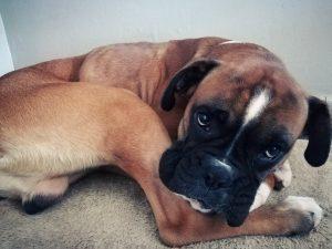 falco chien concours photo animaux octobre 2017